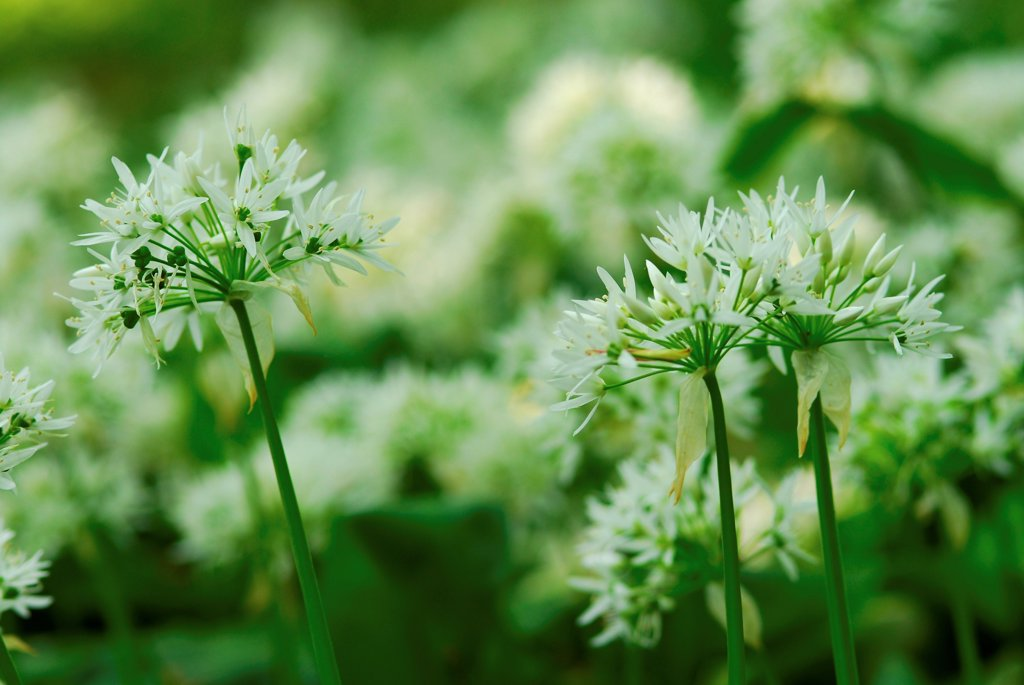 Stock Photo: 4413-119356 Ramsons bloom Bois de Cise Picardie France