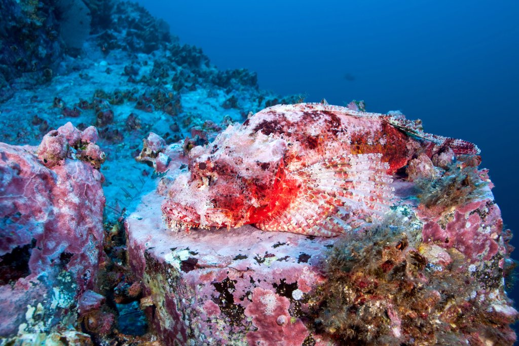 Stone Scorpionfish on reef Malpelo Columbia : Stock Photo