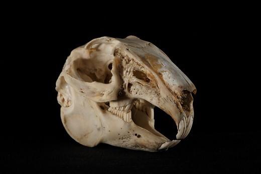 Stock Photo: 4413-120221 Hare Skull 3 / 4 on blackbackground