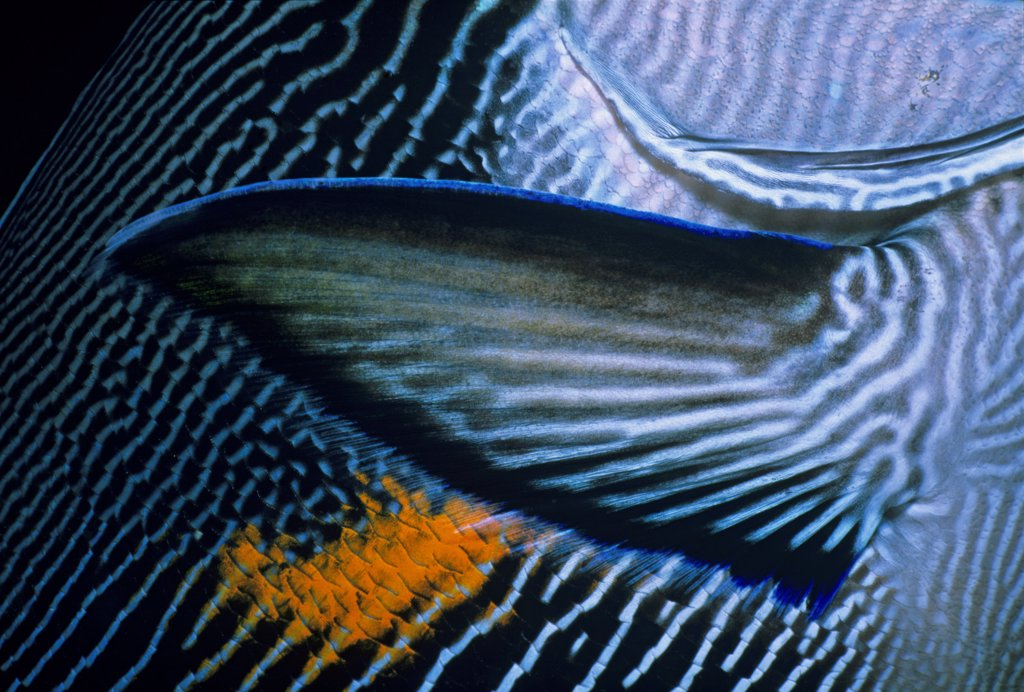 Stock Photo: 4413-121112 Close up of a Pectoral fin of a Sohal Surgeonfish Egypt
