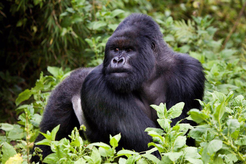 Mountain Gorilla Volcanos National park Rwanda : Stock Photo
