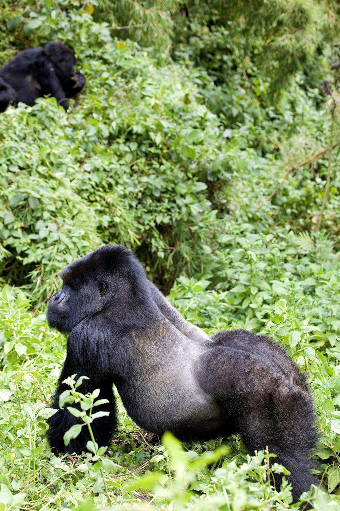 Stock Photo: 4413-12186 Mountain Gorilla Volcanos National park Rwanda