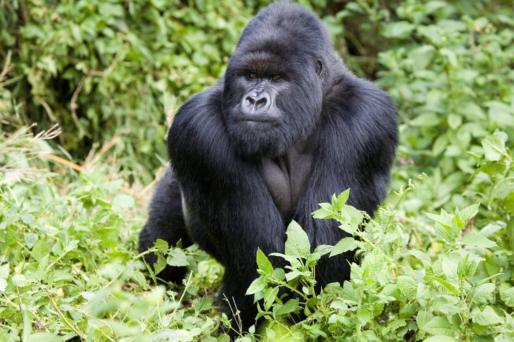 Placid Mountain Gorilla male Volacanos NP Rwanda : Stock Photo