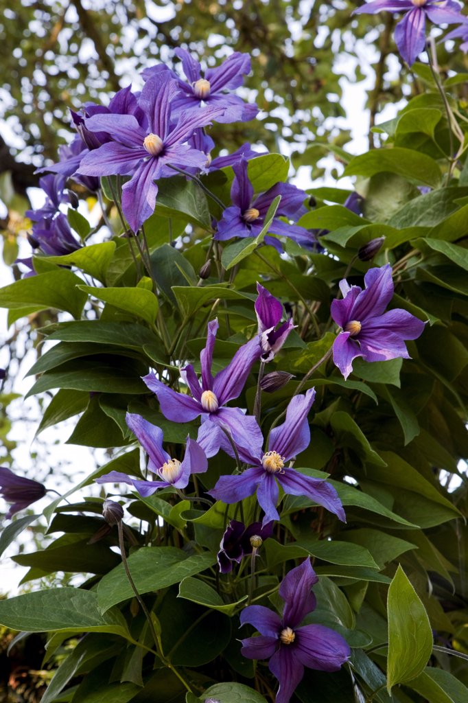 Clematis 'Durandii' in bloom in a garden : Stock Photo