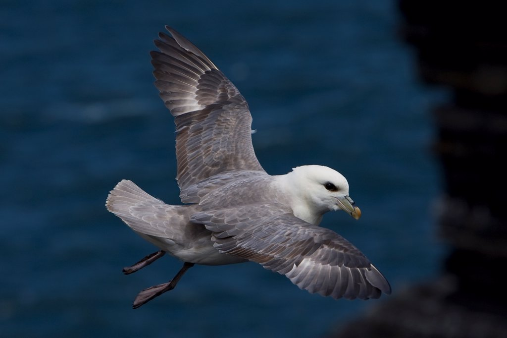 Stock Photo: 4413-122265 Northern Fulmar flying in Ireland