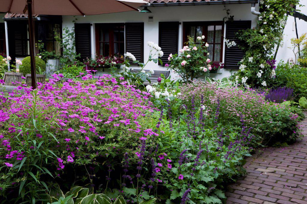 Sage 'Purple Rain' and Geranium 'Patricia' in a garden : Stock Photo