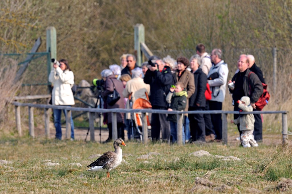 Stock Photo: 4413-123266 Greylag goose and visitors in the park Marquenterre France