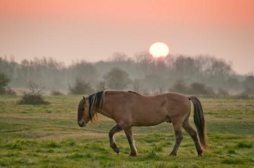 Stock Photo: 4413-123823 Horse Henson grazing at dawn Morlay France