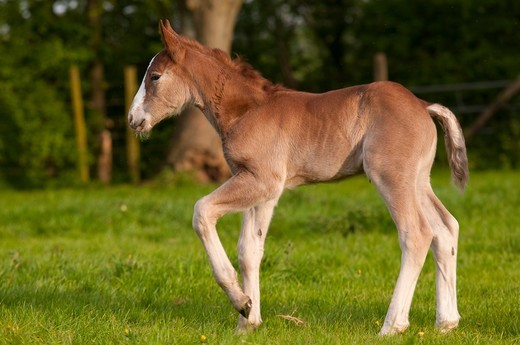 Stock Photo: 4413-123838 Boulonnais foal walking in a meadow at spring France