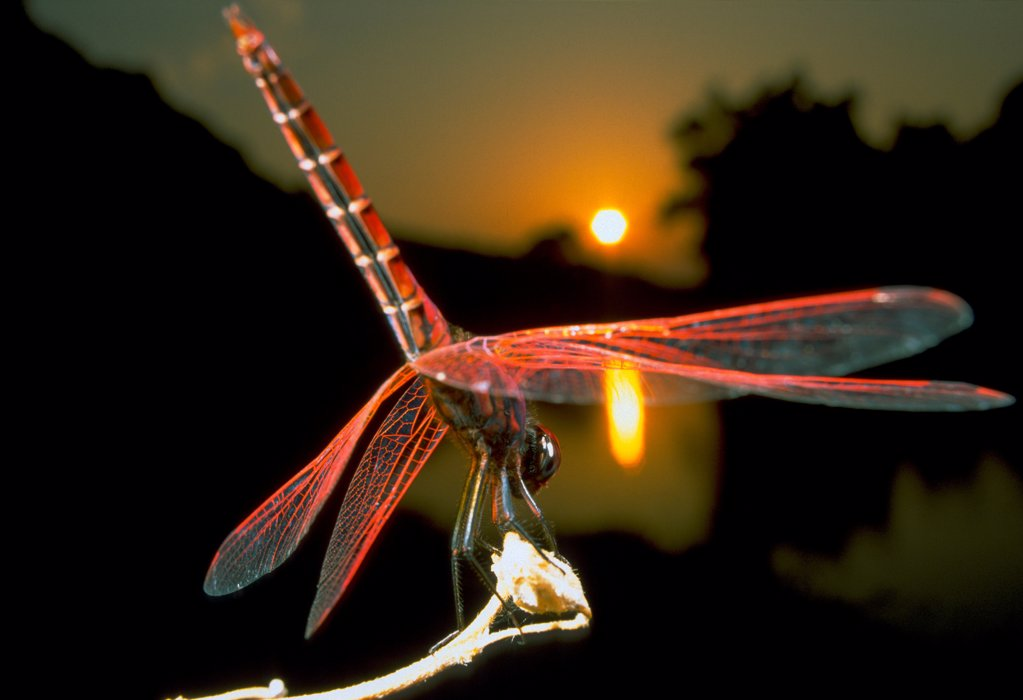 Stock Photo: 4413-12583 Ruddy darter staking out at susnset Sardinia Italia