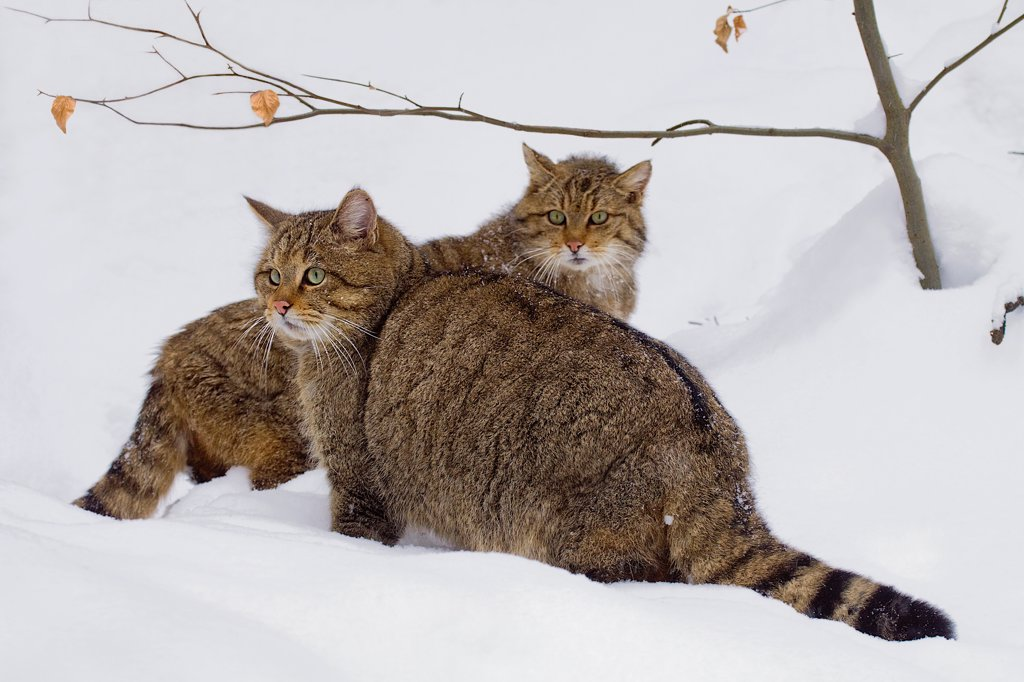 Couple of Wild Cat in the snow BayerischerWald Germany : Stock Photo