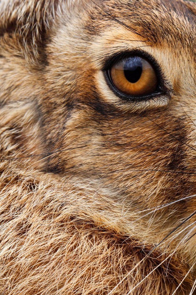 Stock Photo: 4413-128810 Close-up of the head of a Brown Hare GB