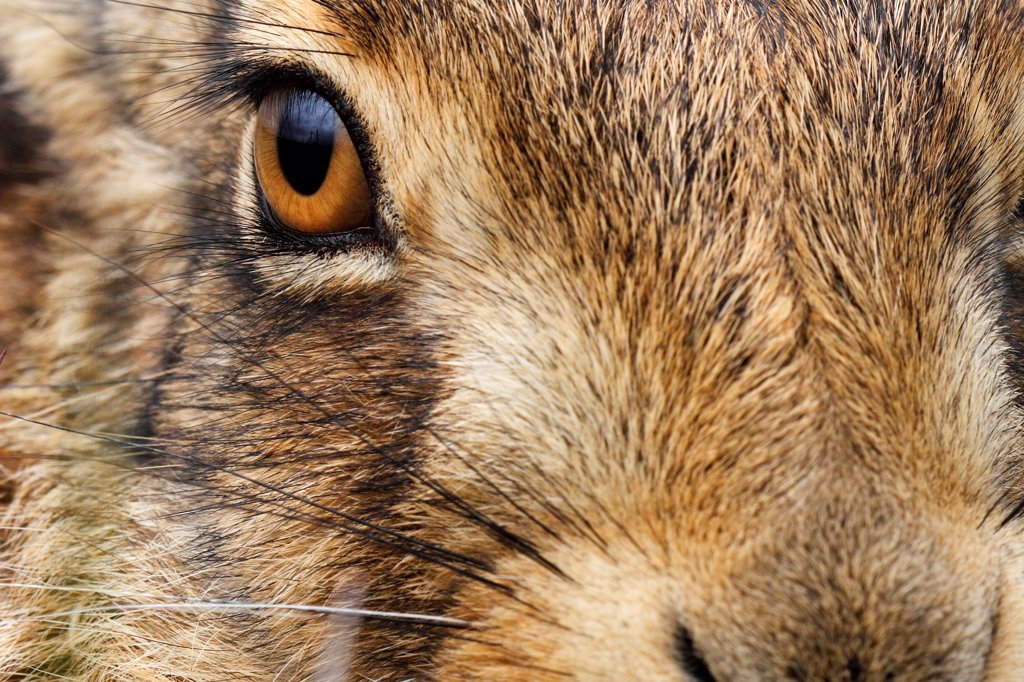 Stock Photo: 4413-128812 Close-up of the head of a Brown Hare GB