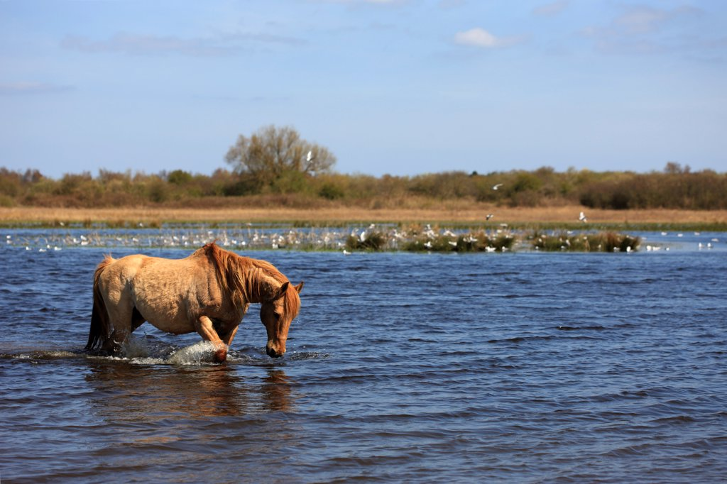 Stock Photo: 4413-128833 Henson horse in the marsh Crotoy Picardie France