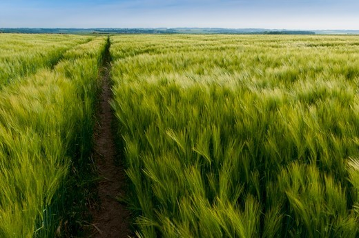 Stock Photo: 4413-128969 Field of winter barley Somme Valley Picardy France