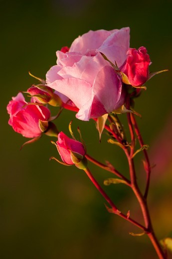 Stock Photo: 4413-128988 Sweet Peas in bloom in a garden Picardie France