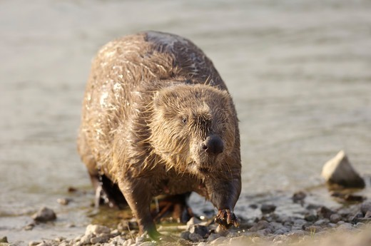 Stock Photo: 4413-12965 Female European Beaver leaving water