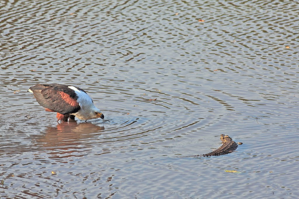 Stock Photo: 4413-129871 African Fish-eagle drinking near a small crocodile RSA
