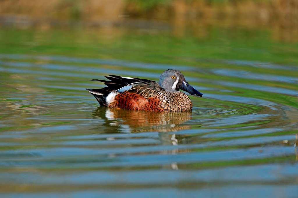 Stock Photo: 4413-131123 Australasian Shoveler on water