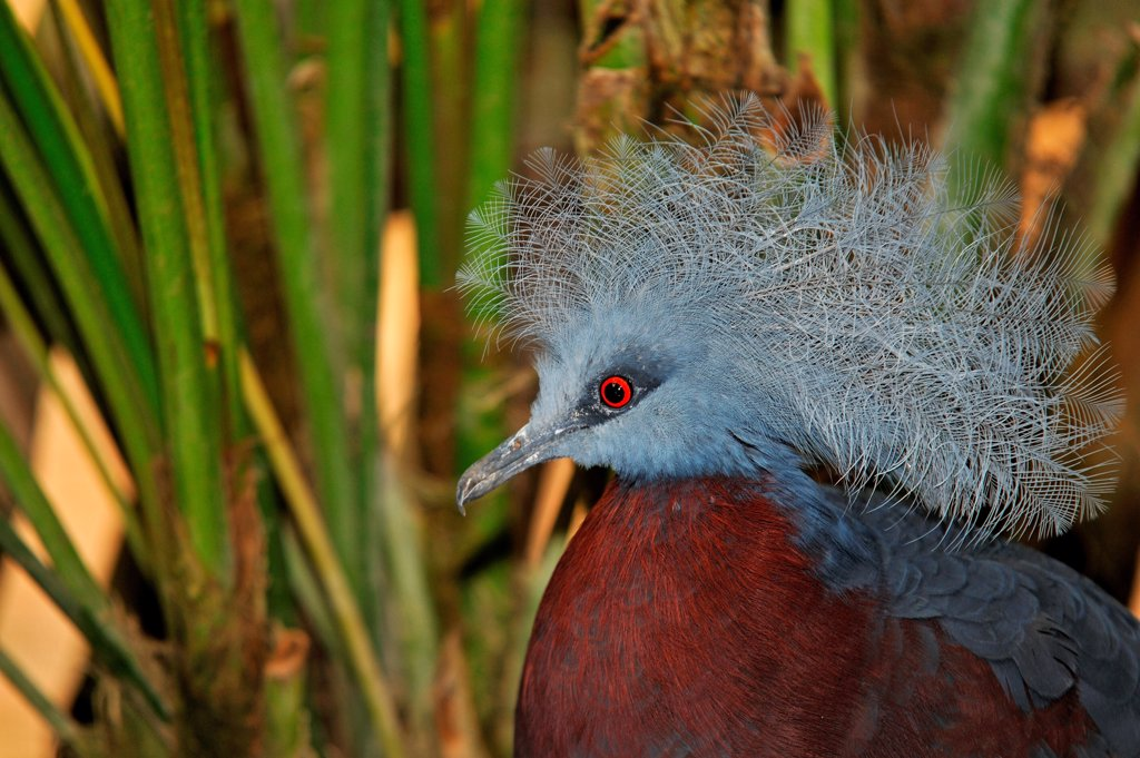 Portrait of Southern Crowned Pigeon Spain : Stock Photo