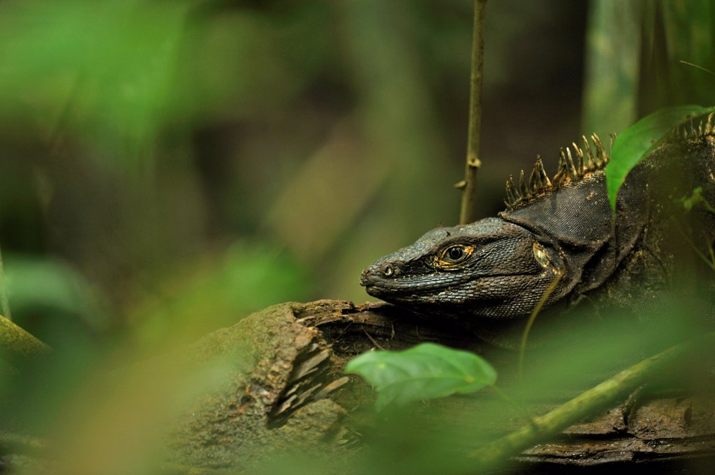Stock Photo: 4413-131683 Black iguana on the lookout in the forest PN Cahuita Costa Rica