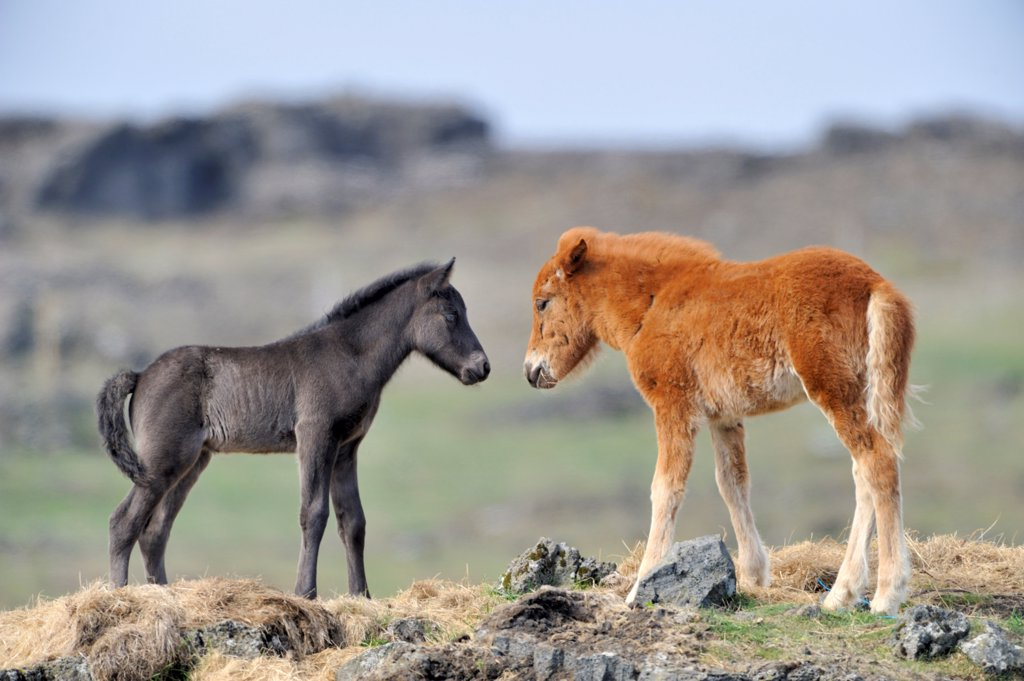 Icelandic foal face to face in the moor Iceland : Stock Photo