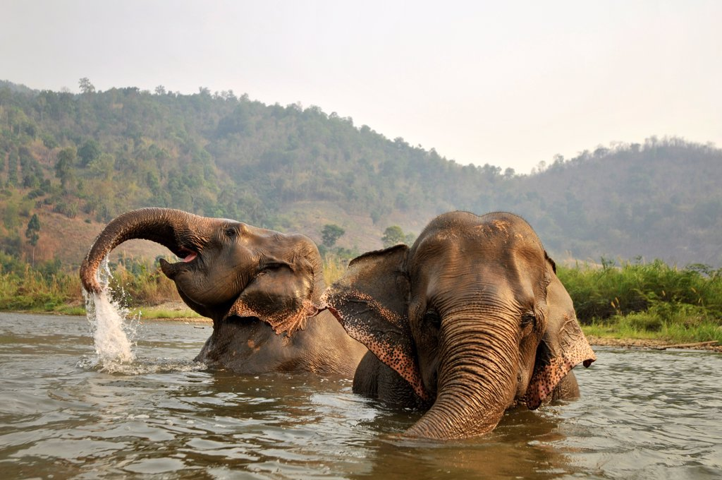 Stock Photo: 4413-134193 Asian Elephants bathing in a river Thailand