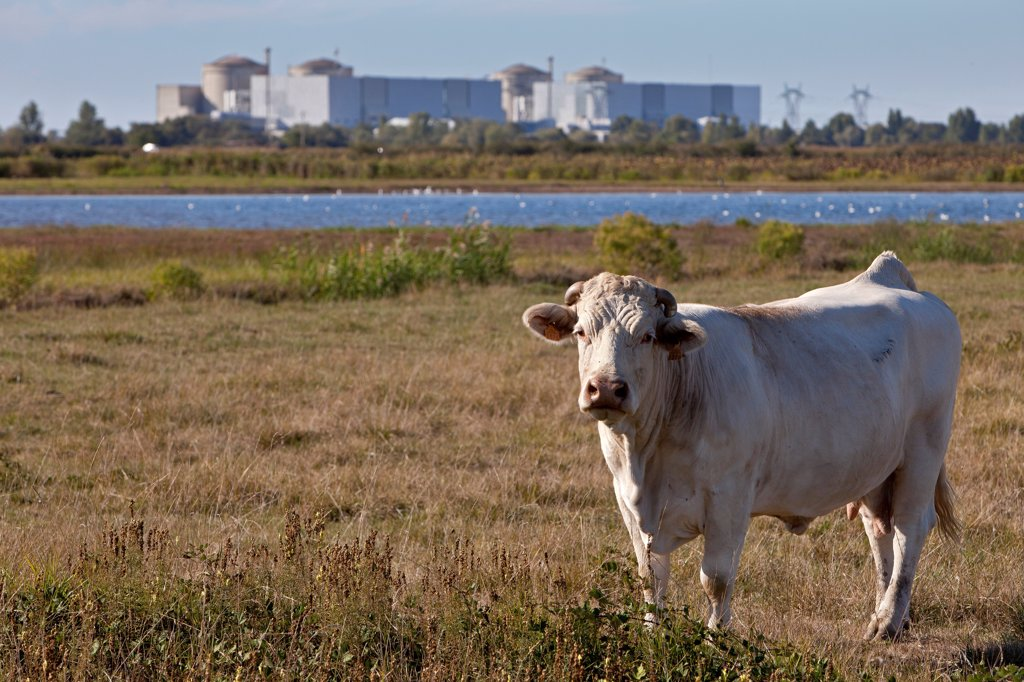 Cow before the Nuclear Blayais France : Stock Photo