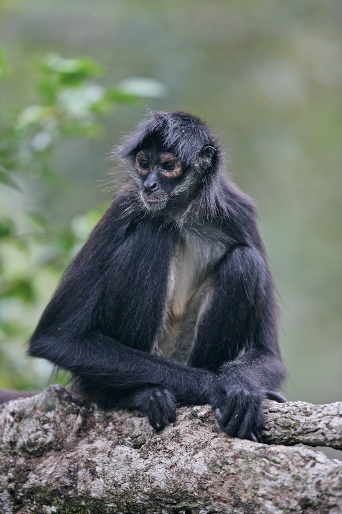 Stock Photo: 4413-13478 Central american spider monkey sitting on a branch Belize
