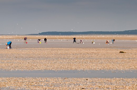 Shellfish gathering in the Somme Bay during high tide France : Stock Photo