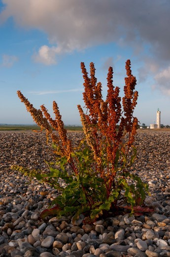 Sorrel to the lighthouse Hourdel Baie de Somme France : Stock Photo