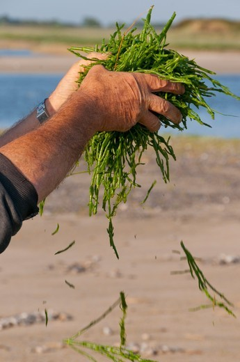 Salicornia crop in Baie de Somme Picardie France : Stock Photo