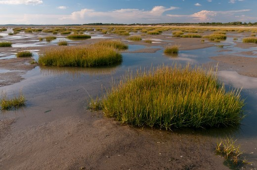 Stock Photo: 4413-135169 Cord Grass on the mudflat Baie de Somme Picardie France