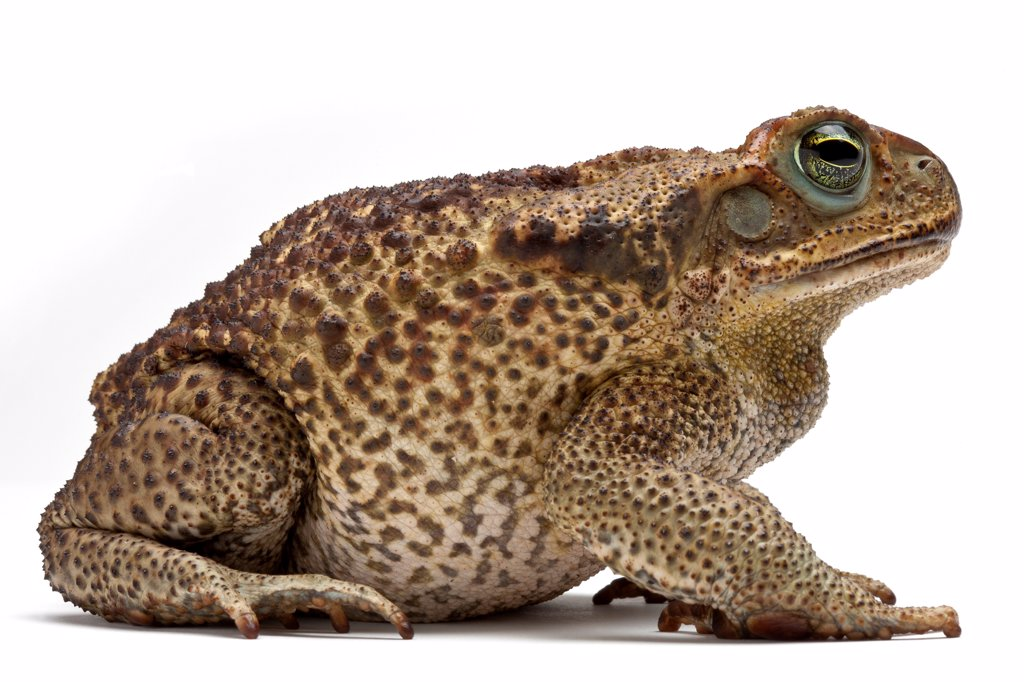 Stock Photo: 4413-137210 Rococo Toad in studio on white background