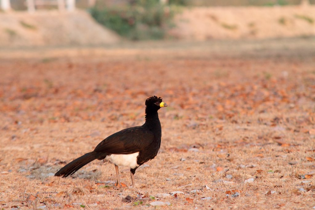 Stock Photo: 4413-137864 Male Bare-faced Curassow in the Pantanal in Brazil