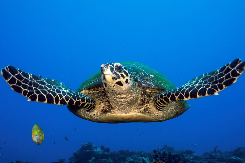 Hawksbill Turtle in Tahiti in Polynesia : Stock Photo
