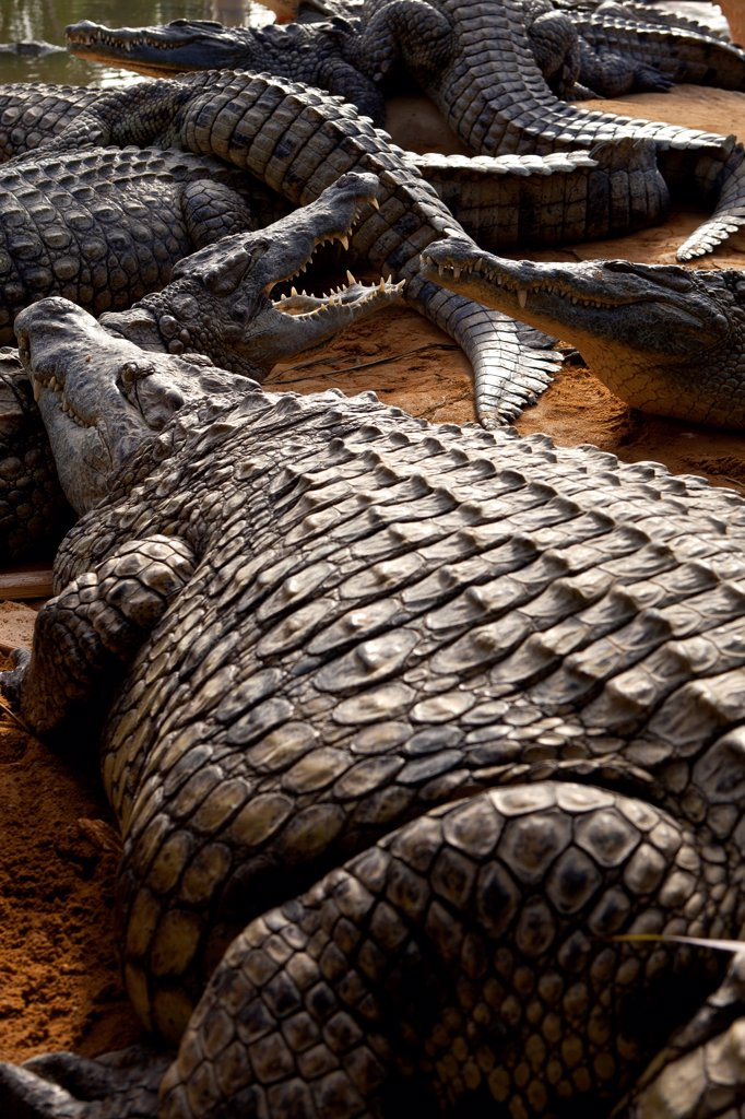 Nile crocodiles resting Crocodile Farm France : Stock Photo