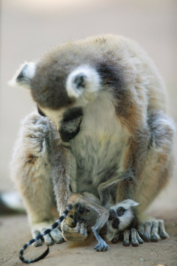 Stock Photo: 4413-14191 Ringed-tailed Lemur female and young dying Berenty