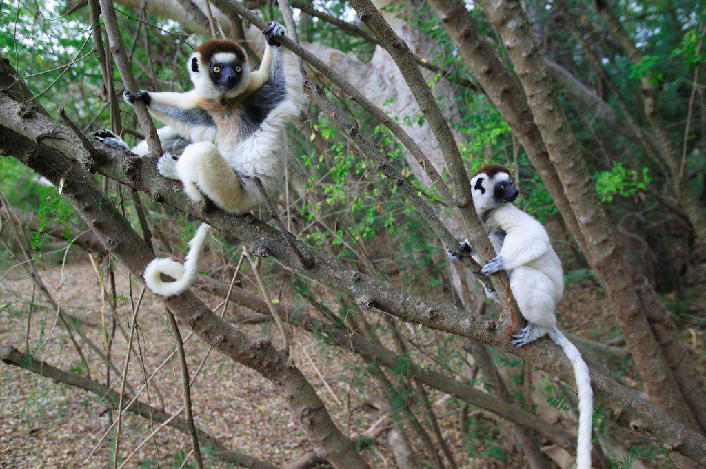 Stock Photo: 4413-14258 Verreaux's Sifakas Berenty reserve Madagascar