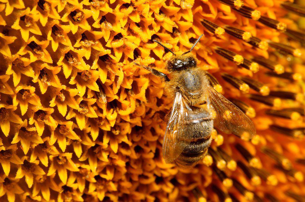 Stock Photo: 4413-14481 Honey Bee on flower of Sunflower Burgundy France
