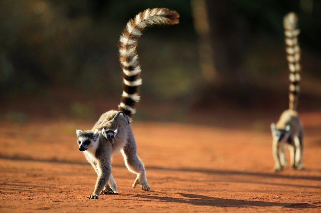 Stock Photo: 4413-14536 Ringed-tailed lemur female and young Berenty Reserve
