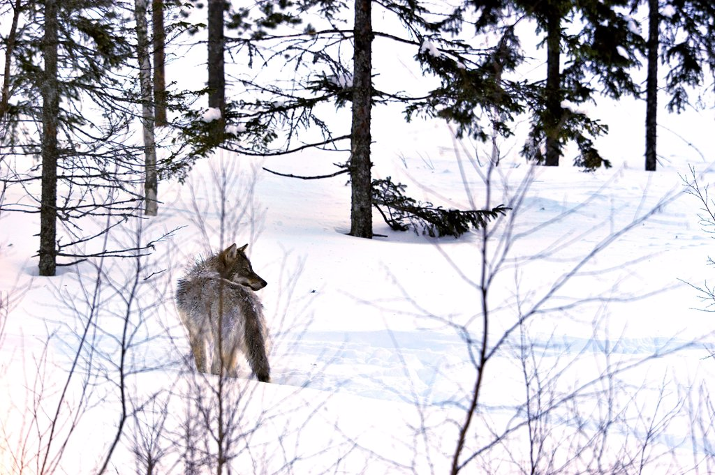 Wolf in the taiga : Stock Photo