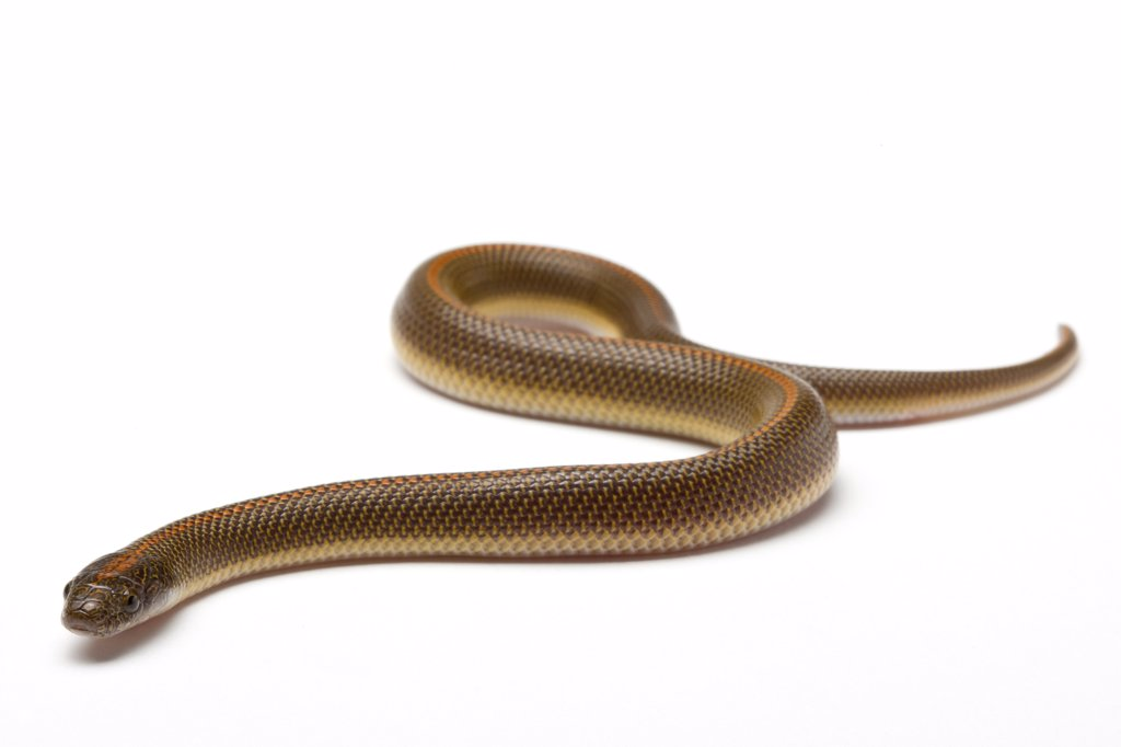 Aurora House Snake on white background : Stock Photo