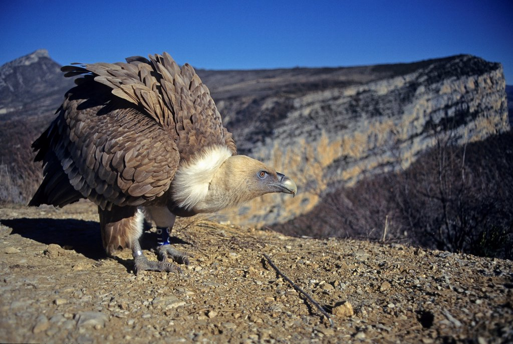 Reintroduced Eurasian GriffonVulture Baronnies France : Stock Photo