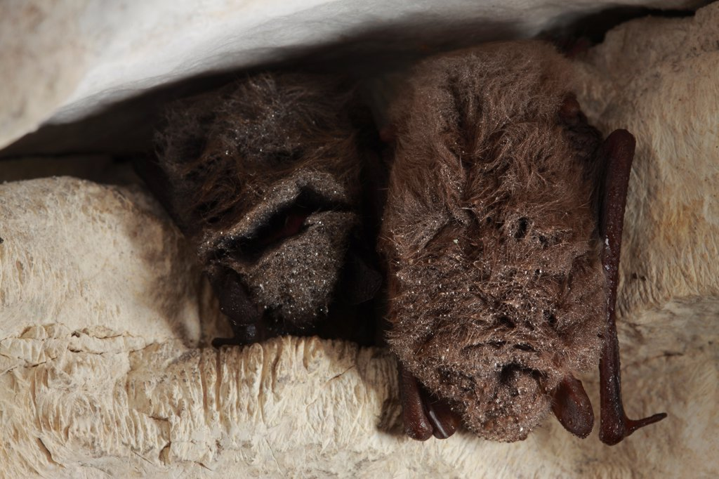 Stock Photo: 4413-149390 Brandt's Bat hibernating in a cave France