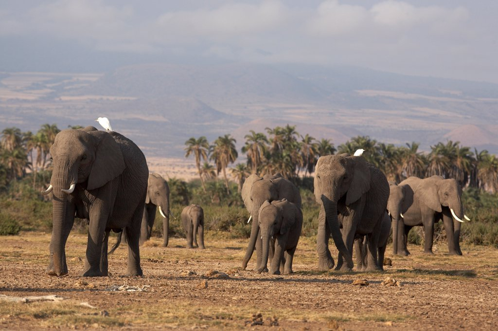 Stock Photo: 4413-14964 African elephants National park of Amboseli Kenya