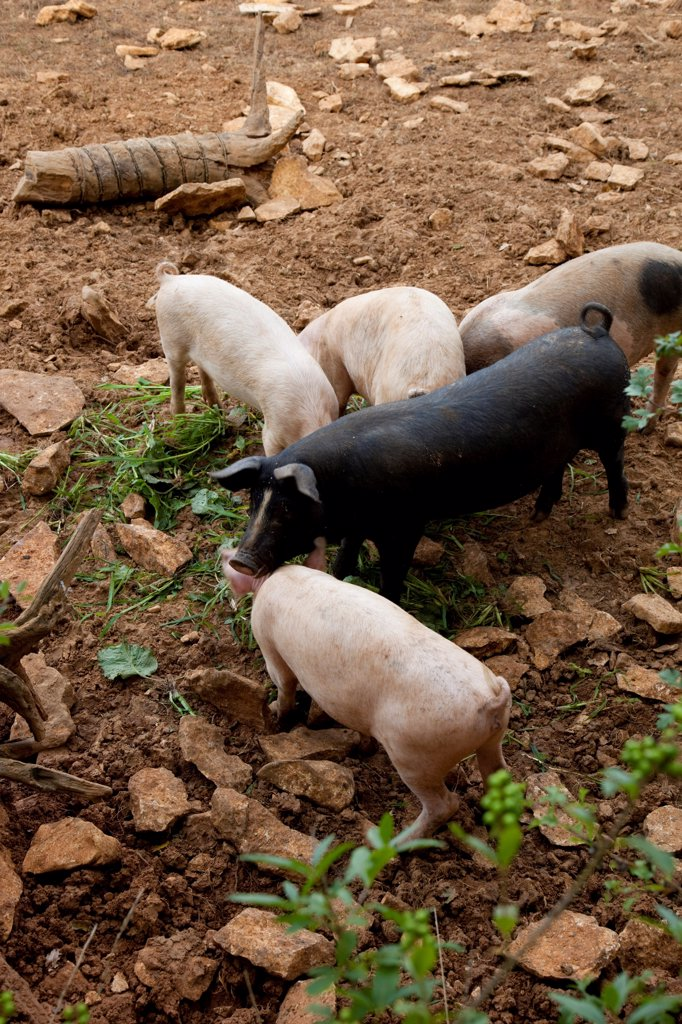Stock Photo: 4413-149651 Outdoor biologic pig breeding