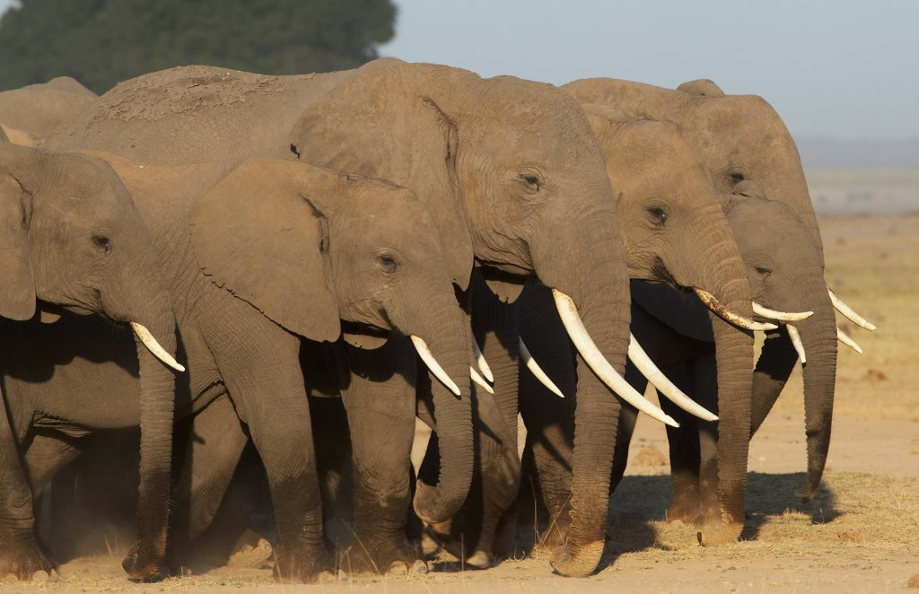 Stock Photo: 4413-14971 African elephants National park of Amboseli Kenya