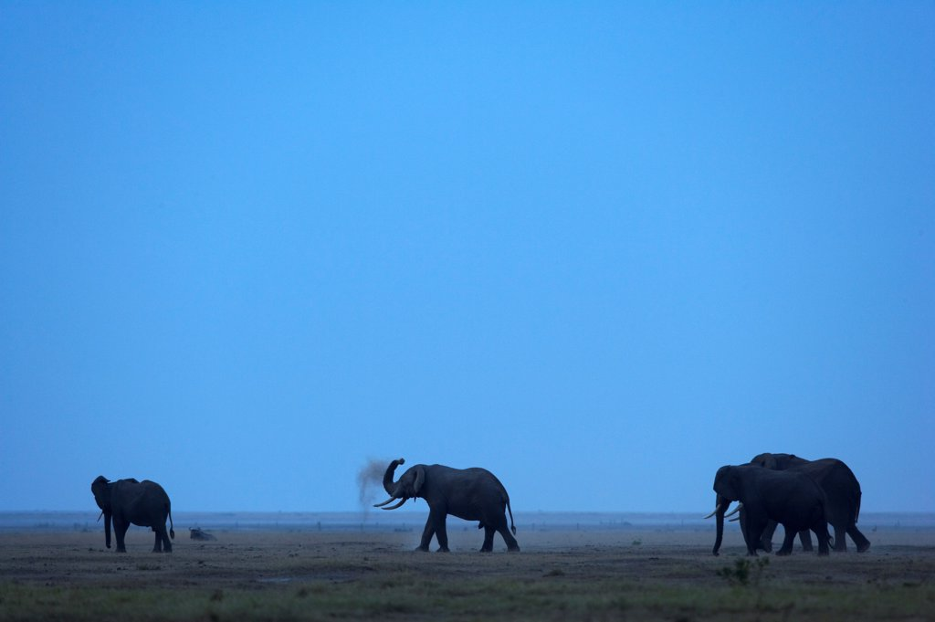 Stock Photo: 4413-15027 African elephants being sprinkled dust Amboseli Kenya