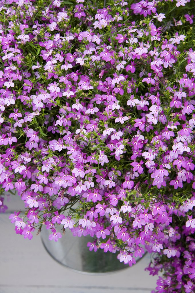 Stock Photo: 4413-151218 Trailing lobelia 'Dark Heaven', June